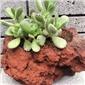 火山石花盆